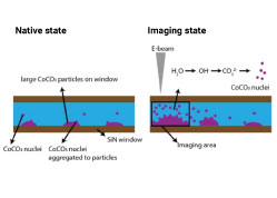 Growth Kinetics of Cobalt Carbonate Nanoparticles Revealed by Liquid-Phase Scanning Transmission Electron Microscopy